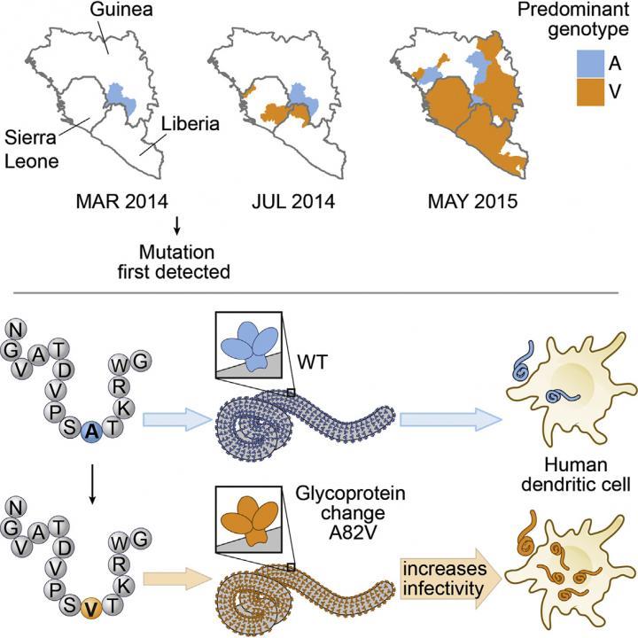 De genmutatie versnelde de uitbraak van het ebolavirus.