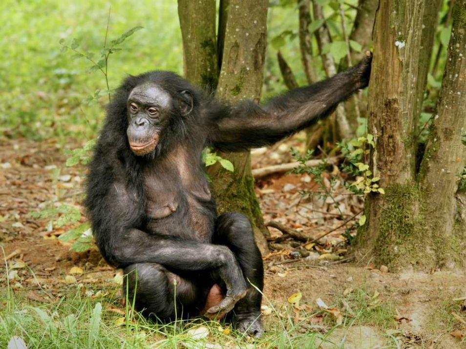 Een bonobo. Afbeelding: Hans Hillewaert (via Wikimedia Commons).