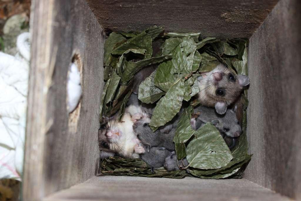 Een nestje relmuizen. Afbeelding: Jessica Cornils / Vetmeduni Vienna.