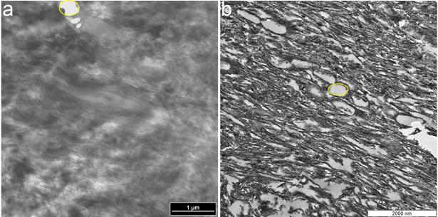 Onderzoekers vergeleken de structuur van de 'nagel' van een struisvogel (links) met die van de 'nagel' van de dinosaurus (rechts). Afbeelding: Alison Moyer.