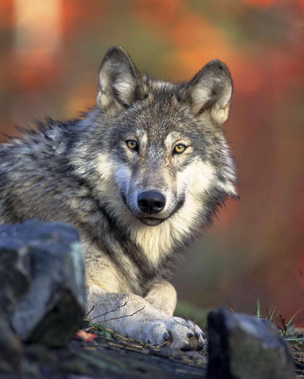 De wolf. Afbeelding: Gary Kramer / US Fish & Wildlife Service.