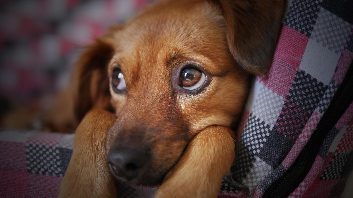 Honden ontwikkelden puppy-ogen speciaal voor jou