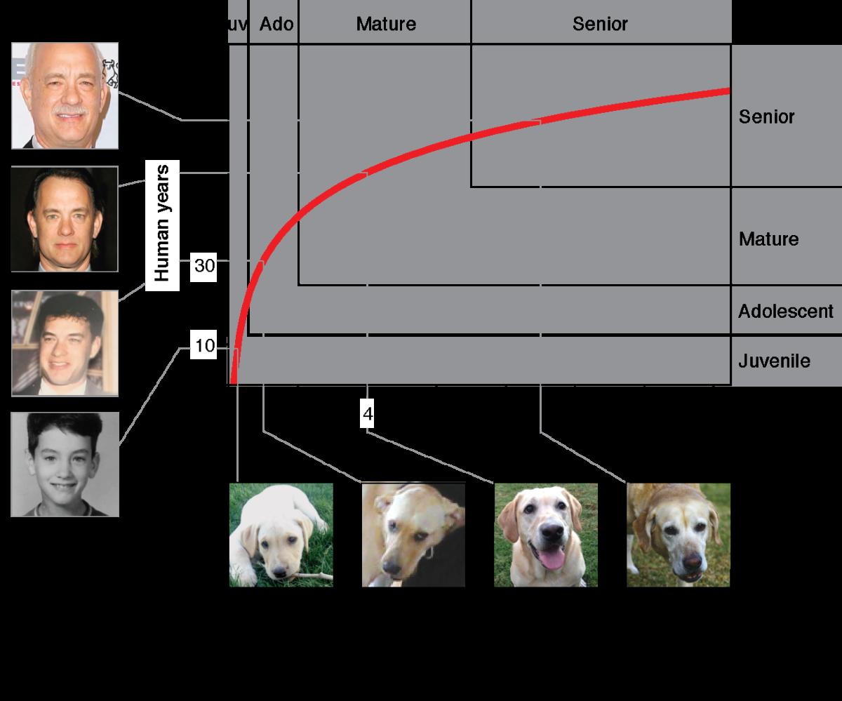 Leeftijd van acteur Tom Hanks vergeleken met die van een labrador. Afbeelding: Cell Press