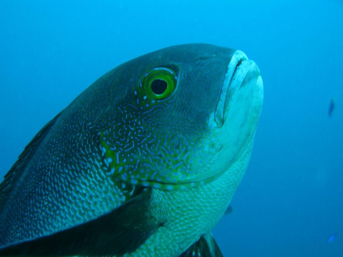 wetenschappers-vangen-81-jaar(!)-oude-vis-voor-de-kust-van-australi%C3%AB