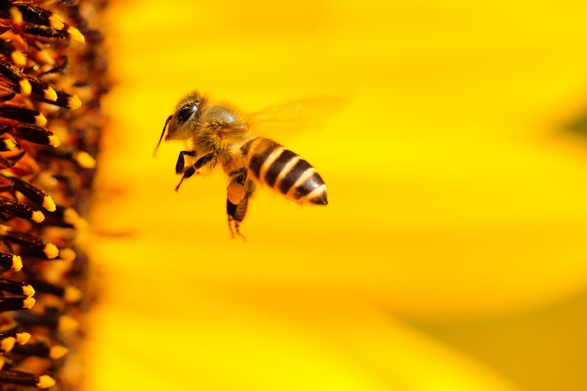 Bijen doen aan wiskunde zonder cijfers - Scientias.nl