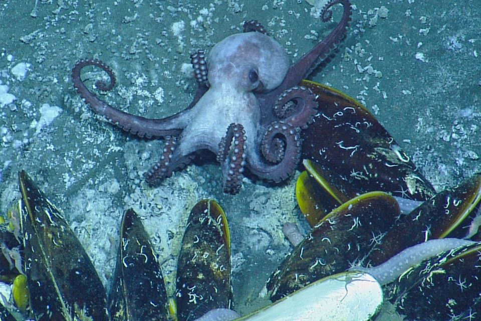 Octopussen maakten schelpen 75 miljoen jaar geleden al het leven zuur - Scientias.nl